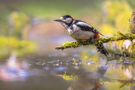 dendrocopos: Great spotted woodpecker (Dendrocopos major) is an inhabitant of woodlands and parks, depending for food and nesting sites upon old trees. Its actions are jerky, and it hops rather than climbs Stock Photo