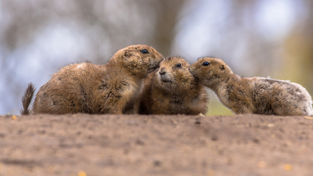 intimacy: Family of Black-tailed prairie dog (Cynomys ludovicianus) kissing and cuddling as a sign of intimacy