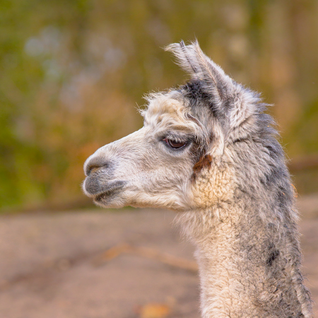vicugna pacos: Sideview portrait of the head of a Alpaca (Vicugna pacos) with natural habitat background Stock Photo