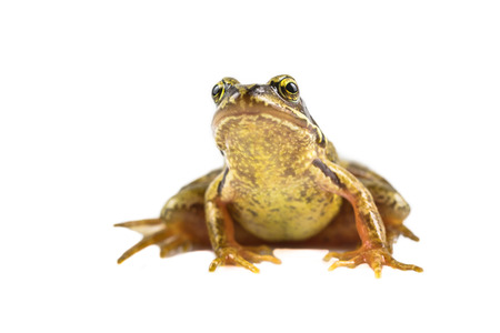 rana: Common Brown frog (rana temporaria) looking up and in the camera on white background with clipping path