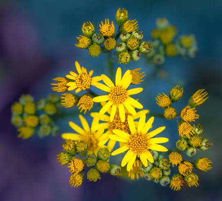 senecio: very common wild flower in the family Asteraceae that is native to northern Eurasia