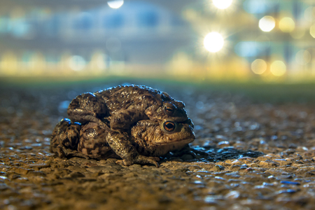 sex traffic: Mating Common Toads (Bufo bufo) in amplexus while walking on a dangerous road in an urban area with city lights in background