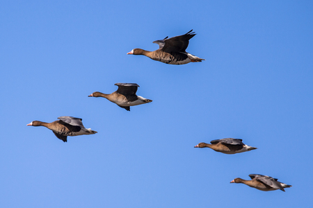 ducks: Migrating Greater White-fronted Goose (Anser albifrons) flying in Formation