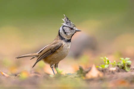 deciduous woodland: European Crested Tit (Lophophanes cristatus) is a passerine bird in the tit family Paridae. It is a widespread and common resident breeder in coniferous forests throughout central and northern Europe and in deciduous woodland in France and the Iberian pen Stock Photo
