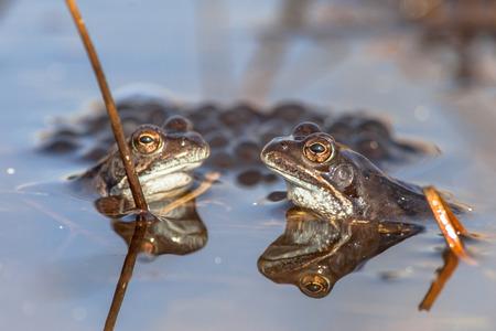 cicla: Dos ranas comunes (Rana temporaria) en la visualización durante la temporada de apareamiento en la primavera con Frogspawn en el fondo