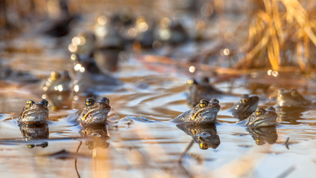 rana arvalis: Group of male common frogs (Rana temporaria) on display during mating season in march Stock Photo