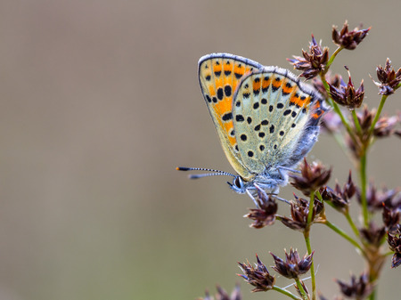 lycaena: Sooty copper (Lycaena tityrus) perched on the flowers of Sharp-flowered Rush (Juncus acutiflorus) with grey background