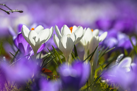 sun lit: White Wild crocus (Crocus tommasinianus) blooming in a field of purple flowers in a back lit park lawn in the first sun rays in march Stock Photo