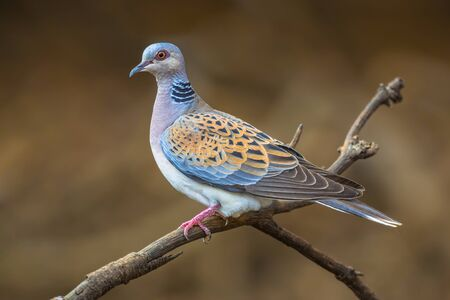 turtle dove: Turtle dove (Streptopelia turtur) perched on a branch and looking out for danger Stock Photo