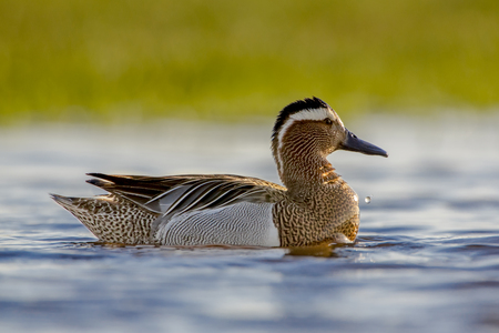 dabbling: Alert Male garganey duck (Anas querquedula) in early morning sun. This is a small dabbling duck. It breeds in much of Europe and western Asia.