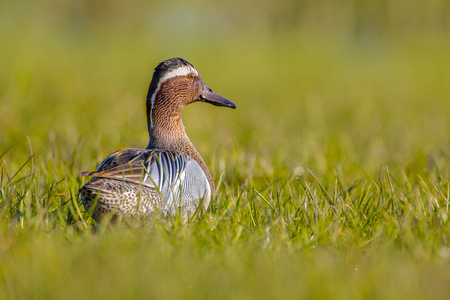 dabbling: Male garganey duck  (Anas querquedula) lookling backward in early morning sun. This is a small dabbling duck. It breeds in much of Europe and western Asia.