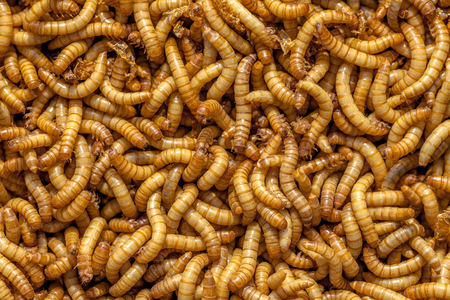 mealworm: Background of many living Mealworms suitable for Food