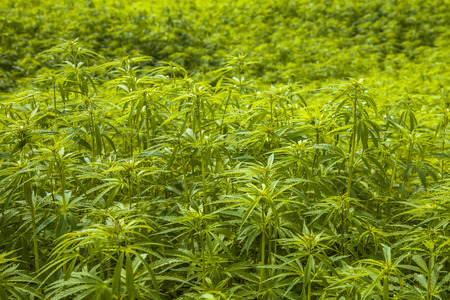 Field of Hemp plantation with Flower Buds and Shallow Background