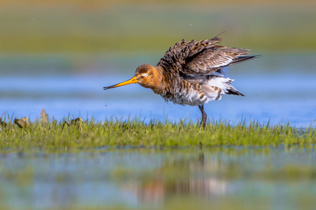 wader: Black-tailed Godwit (Limosa limosa) shaking feathers in shallow water. This is one of the wader bird target species in dutch nature protection projects