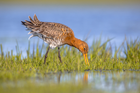 tailed: Black-tailed Godwit (Limosa limosa) foraging in shallow water of a wetland. Marshlands are used as layovers during migration.