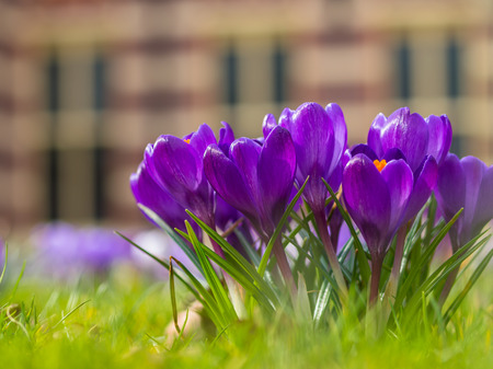 small purple flower: Group of purple blooming crocus with historic building in the background