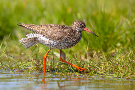 swiftly: Common Redshank (Tringa totanus) running swiftly along the shoreline Looking for food in shallow water Stock Photo