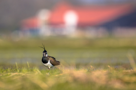 patrolling: Male Northern lapwing (Vanellus vanellus) in agricultural farmland with farm building in the backdrop Stock Photo