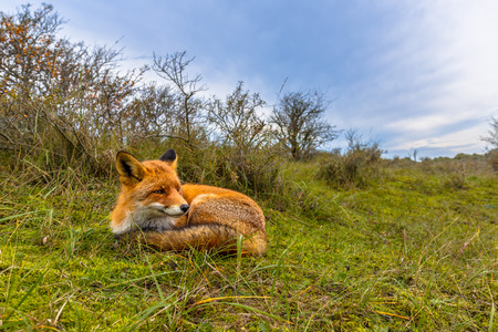 occupying: Resting European red fox (Vulpes vulpes) in grass of dunes in the Netherlands. Red Foxes are adaptable and opportunistic omnivores and are capable of successfully occupying urban areas.