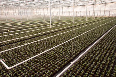 the greenhouse: Crops in a large scale Nursery Greenhouse in the Netherlands