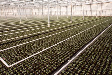 invernadero: Los cultivos en un gran invernadero vivero escala en los Pa�ses Bajos