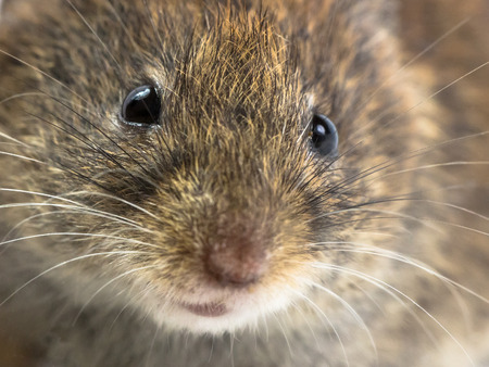 vole: Close up of head of Bank vole mouse (Myodes glareolus) with snout, whiskers and eyes