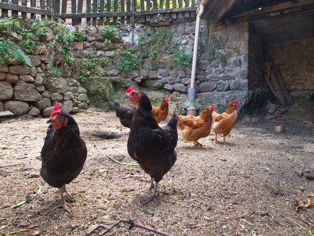 henhouse: Group of chicken in an old hen house on the countryside of France