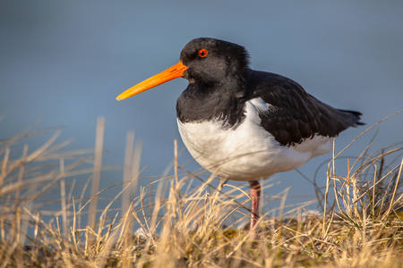 wader: Eurasian Oystercatcher (Haematopus ostralegus) wader bird fisher of fish and shellfish with nesting places near the Waddenzee Natura 2000  nature reserve for seabirds Netherlands