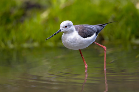 wader: Foraging black-winged stilt, common stilt, or pied stilt (Himantopus himantopus), a very long legged wader feeding in shallow water