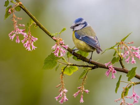5 月の美しい日にピンクの花を枝に青シジュウカラ (Cyanistes caeruleus)。それは温帯および亜寒帯ヨーロッパと西アジア全体で一般的な居住者の育成と