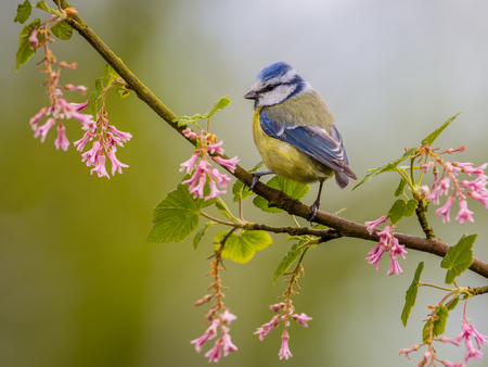 widespread: Blue tit (Cyanistes caeruleus) on a branch with pink flowers on a beautiful day in may. It is a widespread and a common resident breeder throughout temperate and subarctic Europe and western Asia