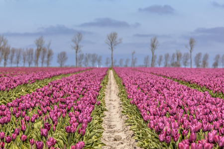 tulipa: Field of purple tulips with trees on the horizon on a sunny day
