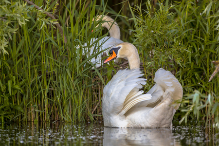 mute swan: Couple of swans (Cygnus olor) building a nest at the lake. Family planning concept. Male in protective mode.