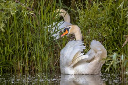 planificacion familiar: Pareja de cisnes (Cygnus olor) que construyen un nido en el lago. concepto de planificación familiar. Hombre en el modo de protección. Foto de archivo