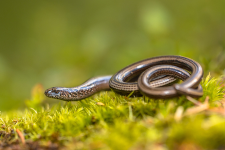 worm snake: Slow worm (Anguis fragilis) on moss in a forest of Dolomites, Italy
