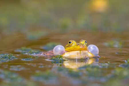 croaking: Croaking Pool frog (Pelophylax lessonae) in a fen with lots of vegetation in early june