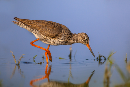 noord: Common Redshank (Tringa totanus) walking along the shoreline looking for food in the shallow water of a dutch agricultural nature reserve