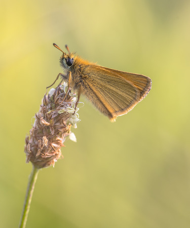 occurs: Essex skipper (Thymelicus lineola) on Plantago flower. This butterfly occurs throughout much of the Palaearctic region. Its range is from southern Scandinavia through Europe to North Africa and east to Central Asia.
