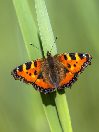 tortoiseshell: Small tortoiseshell (Aglais urticae) on a leaf with green background