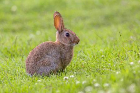 conejo: Conejo salvaje europeo (Oryctolagus cuniculus) en un precioso entorno de vegetación verde con flores blancas Foto de archivo