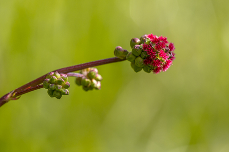 rosaceae: Salad burnet (Sanguisorba minor) detail of flowers. It is a plant in the family Rosaceae that is native to western, central and southern Europe; northwest Africa and southwest Western Asia
