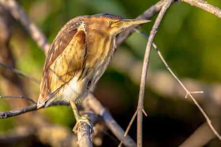 bittern: Little bittern (Ixobrychus minutus) perched on a branch above the water of a lake