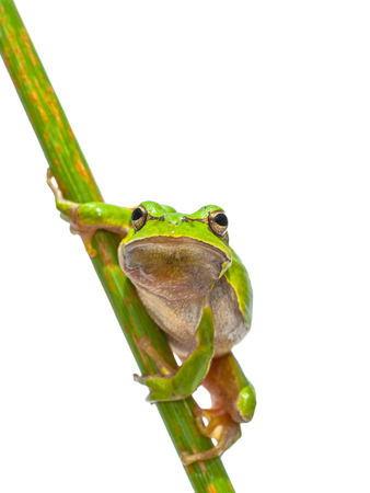 hyla: Green European Tree Frog (Hyla arborea) Looking in the camera while perched in a diagonal stick, isolated on white background