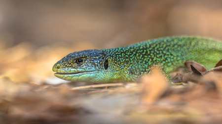 lacerta viridis: Head of Eastern European Green Lizard (Lacerta viridis) resting on a rock and showing teeth among leaves with blurred background Stock Photo