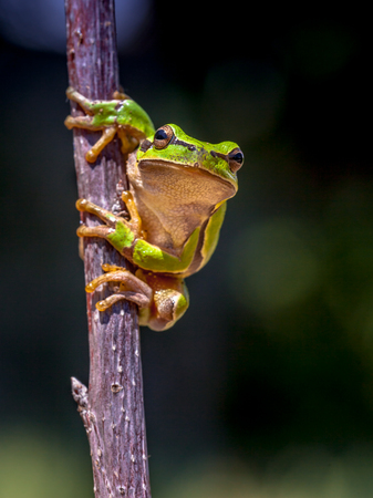 gaudy: European tree frog (Hyla arborea) climbing in a tree with dark background Stock Photo