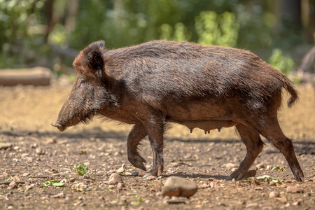 sus: Female Wild Boar (Sus scrofa) walking in a clearing in the forest Stock Photo