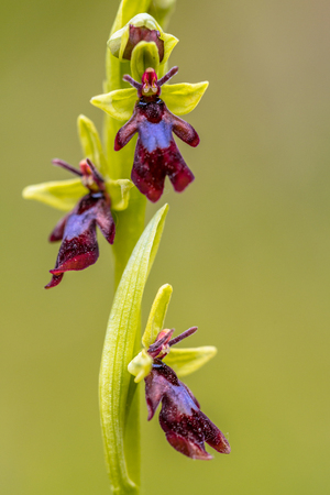 Close up of Fly Orchid (Ophrys insectifera). The plants use scent to attract male wasps and bees which pollinate the flowers as they attempt to mate with the flower. Reklamní fotografie