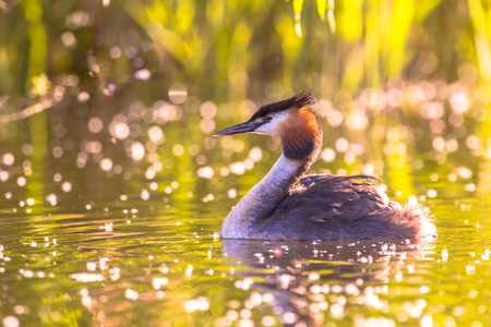 cristatus: Great Crested Grebe (Podiceps cristatus) floating in water with beautiful sunset reflections Stock Photo