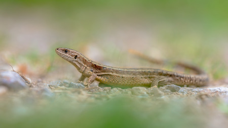 lacertidae: Viviparous lizard (Zootoca vivipara) seen from side.  This Eurasian lizard lives farther north than any other reptile species, and most populations are viviparous (giving birth to live young). Stock Photo
