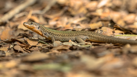 distinctive: Dalmatian wall lizard (Podarcis melisellensis) with distinctive orange throat